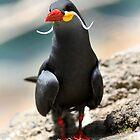 Inca Tern by Erik Anderson