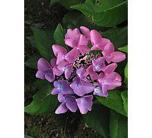 Pink & Lavender Hydrangea Photographic Print