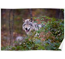 Timber Wolf Poster