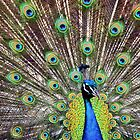 Pretty as a Peacock by Jeanne Sheridan