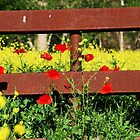 The Poppies and the Fence by Patricia Miller