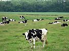Field of Cows by Barberelli
