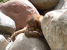 Shy and Curious - Baby Urangutan by Barberelli