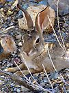 Desert Cottontail by Kimberly Chadwick