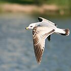 Ring-billed Gull in Flight by Teresa Zieba