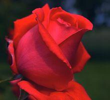 Red Rose at Twilight #4 by Allan  Erickson
