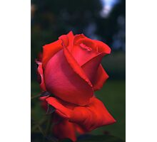 Red Rose at Twilight #4 Photographic Print