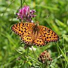 Dark Green Fritillary Butterfly by John Keates