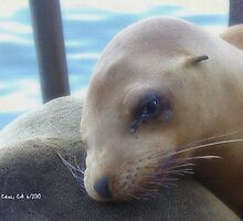 Sea Lion Pup Santa Cruz by Cupertino