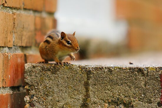 Albert the Chipmunk back on the stage again. by Brian Dodd