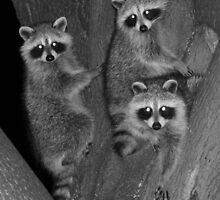Three Baby Raccoons by hummingbirds
