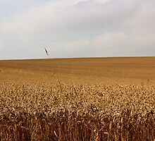 Golden Field by Vicki Spindler (VHS Photography)