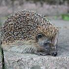 Garden Hedgehog by laurawhitaker