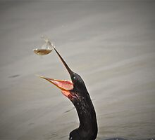 Anhinga Fishing by imagetj