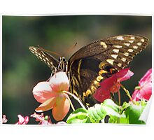 Black Swallowtail III Poster