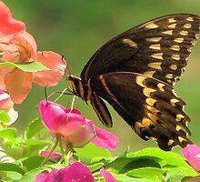 Black Swallowtail IV by DottieDees