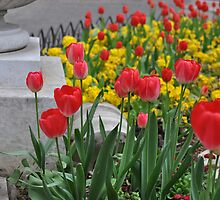 Tiptoe through the tulips. by Heather Thorsen