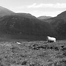 Sheep in the Mourne by clochette