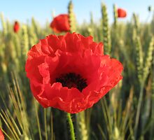 Poppy and Wheat by Pamela Jayne Smith