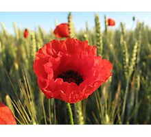 Poppy and Wheat Photographic Print