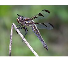 Female Twelve-Spotted Skimmer closeup. Photographic Print