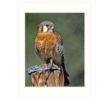American Kestrel Smallest of the Falcons  Art Print