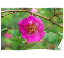 Rose 7 Poster