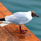 Small Black Headed Gull - Weymouth Dorset UK by lynn carter