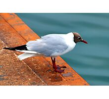 Small Black Headed Gull - Weymouth Dorset UK Photographic Print