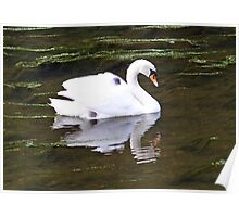 Swan and Cygnet on her back Poster