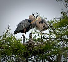 Great Blue Herons Feeding Their Young by imagetj