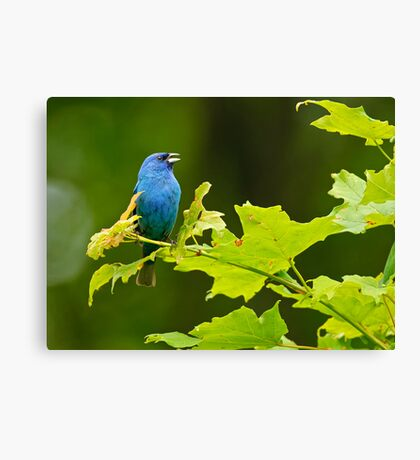 Indigo Bunting - Chaffey's Locks, Ontario Canvas Print