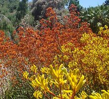 Kangaroo Paws in Paradise by mimikate