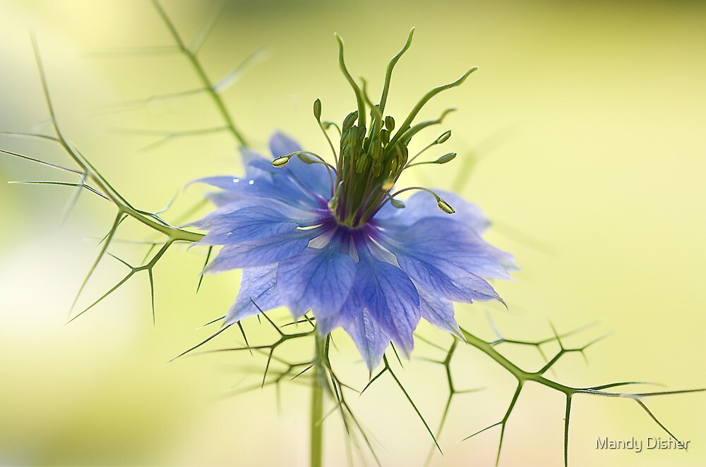 Nigella by Mandy Disher