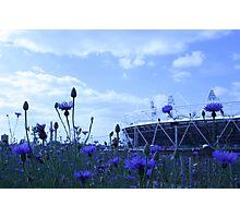 olympic cornflowers Photographic Print