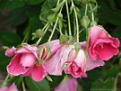 Pink Blooming Roses Dangling From a Shrub by Barberelli