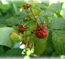 First Red Raspberry by vigor