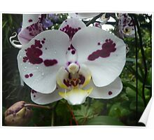 An orchid can't change its spots Poster