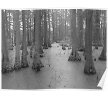 Bald Cypress Swamp Poster