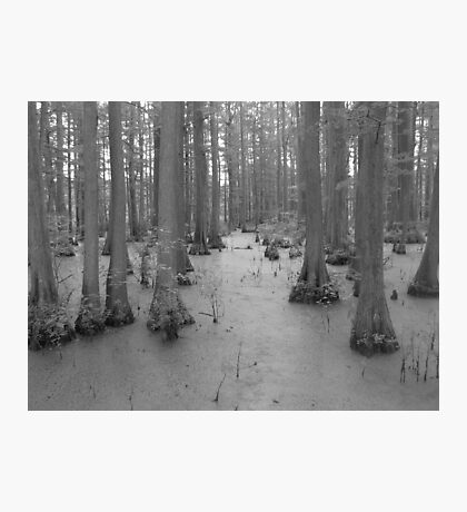 Bald Cypress Swamp Photographic Print