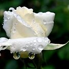Rose Resonance of the Rain by Lozzar Flowers & Art