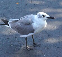 Gull on pavement by ♥⊱ B. Randi Bailey