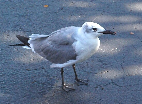 Gull on pavement by ♥⊱ B. Randi Bailey