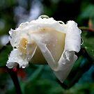 Rose and Raindrop Resonance by Lozzar Flowers & Art