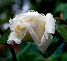 Rose and Raindrop Resonance by Lozzar Flowers & Art