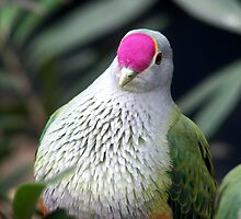 Rose Crowned Fruit Dove by Selinah Bull