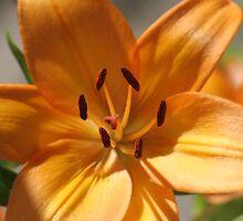 Orange Tiger Lilly by DBArt