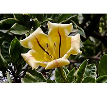 Honolulu Lilly Photographic Print