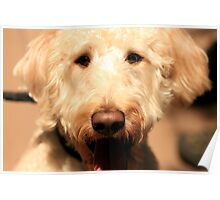 Bowman the Labradoodle Poster