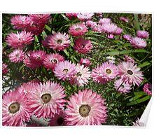 Paper daisy - Kings Park Perth Western Australia Poster